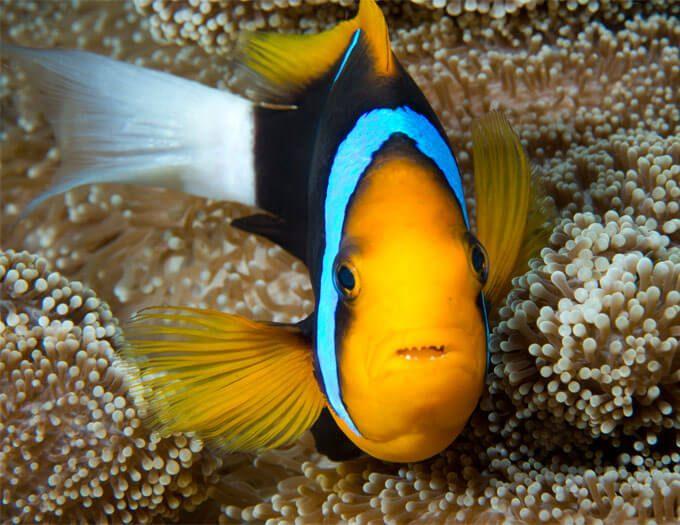 Anenomefish-thumb