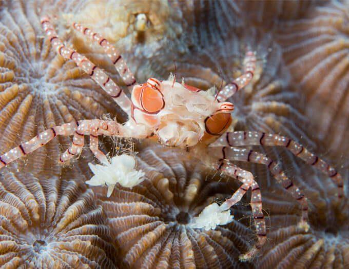 Crab_Boxer-thumb