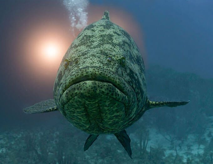 Grouper_Goliath_Light_Cuba_2015 thumb